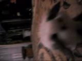 Рокси...(Вислоухий карликовый кролик)